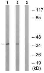 Western blot - Anti-EIF3F antibody (ab74568)