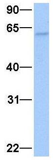 Western blot - Anti-ISYNA1 antibody (ab74721)
