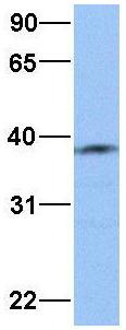 Western blot - Anti-NUDC antibody (ab74792)