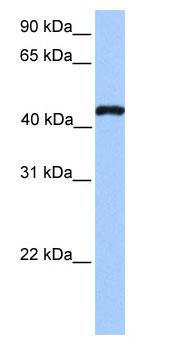 Western blot - Anti-TEAD3 antibody (ab75192)