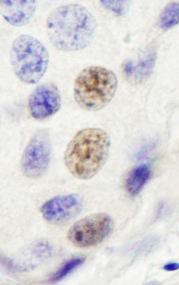 Immunohistochemistry (Formalin/PFA-fixed paraffin-embedded sections) - Anti-INTS4 antibody (ab75253)