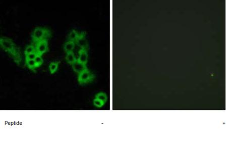 Immunocytochemistry/ Immunofluorescence - Anti-OPN3 antibody (ab75285)