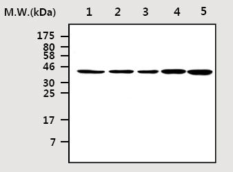 Western blot - Anti-ICAD antibody [AF24G5] (ab75514)
