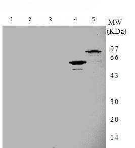 Western blot - Anti-DNA Gyrase A antibody [7F11] (ab75592)