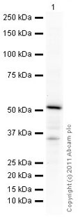 Western blot - Anti-Alkaline Phosphatase  antibody (ab75699)