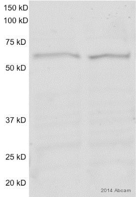 Western blot - Anti-Papillomavirus Regulatory Factor 1 / HDBP2 antibody (ab75727)