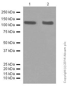 Western blot - Anti-CD146 antibody [EPR3208] (ab75769)