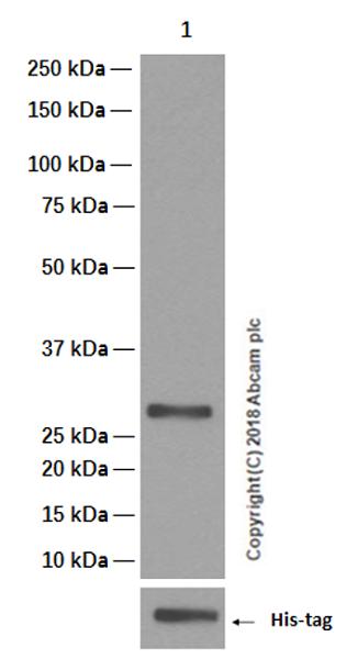 Western blot - Anti-REST / NRSF antibody [EPR2436Y] (ab75785)
