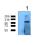 Immunoprecipitation - Anti-Calnexin antibody (ab75801)