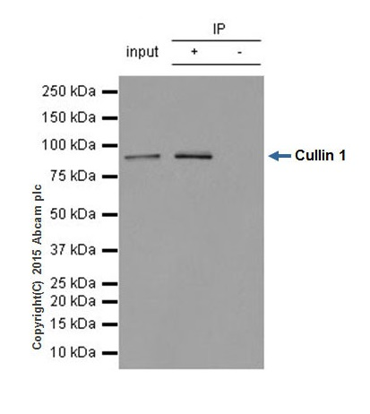 Immunoprecipitation - Anti-Cullin 1 antibody [EPR3103Y] (ab75817)
