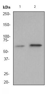 Western blot - Anti-WASP  antibody [EP2541Y] (ab75830)