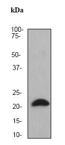 Western blot - Anti-Alpha B Crystallin antibody [EPR2751Y] (ab75833)
