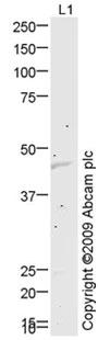 Western blot - Anti-KCNJ1 antibody (ab75906)
