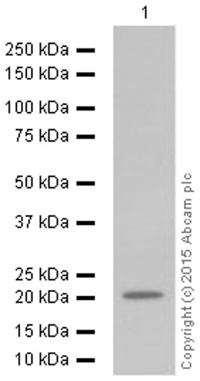 Western blot - Anti-Ferritin Heavy Chain antibody [EPR3005Y] (ab75972)
