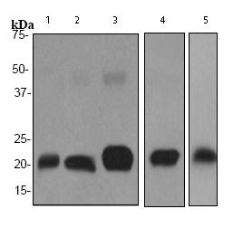 Western blot - Anti-Ferritin Heavy Chain antibody [EPR3005Y] (ab75972)
