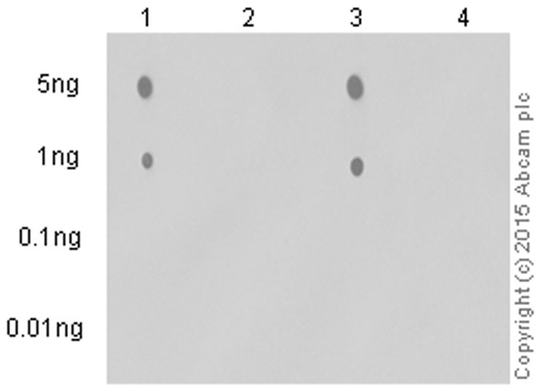 Dot Blot - Anti-PKA alpha/beta/gamma (catalytic subunit) (phospho T197) antibody [EP2606Y] (ab75991)