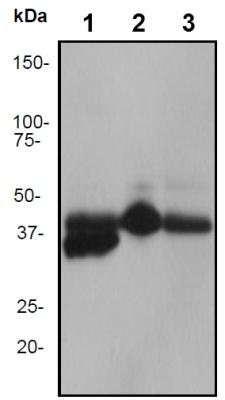 Western blot - TTF1 antibody [EP1584Y] (ab76013)