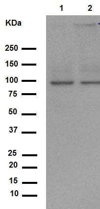 Western blot - Anti-Sodium Potassium ATPase antibody [EP1845Y] - Plasma Membrane Loading Control (ab76020)