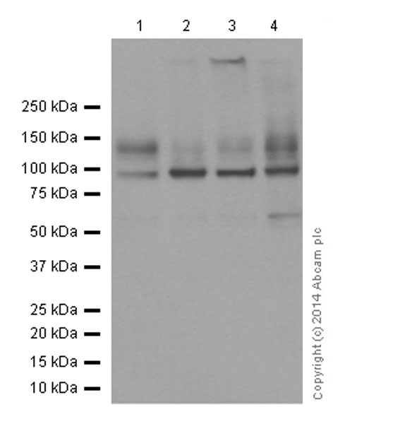 Western blot - Anti-Sodium Potassium ATPase antibody [EP1845Y] - Plasma Membrane Loading Control (ab76020)
