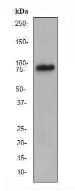 Western blot - Anti-RSK4 antibody [EP1982Y] (ab76117)