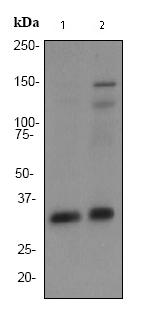 Western blot - Anti-Torsin A antibody [EP2569Y] (ab76133)