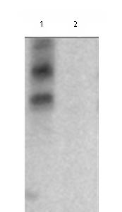 Western blot - Anti-DOK1 (phospho Y362) antibody (ab76173)