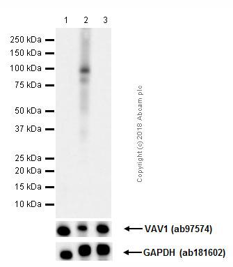 Western blot - Anti-VAV1 (phospho Y174) antibody [EP510Y] (ab76225)
