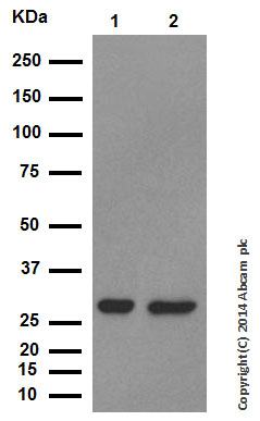 Western blot - Anti-Galectin 3 antibody [EP2775Y] (ab76245)