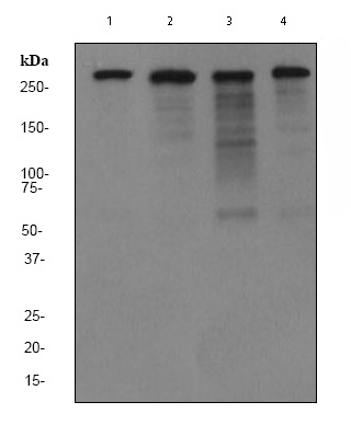 Western blot - Filamin A antibody [EP2405Y] - Carboxyterminal end (ab76289)