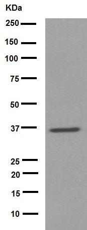 Western blot - Anti-CD68 antibody [EPR1392Y] (ab76308)