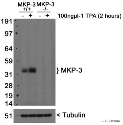 Western blot - Anti-DUSP6 antibody [EPR129Y] (ab76310)