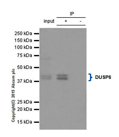 Immunoprecipitation - Anti-DUSP6 antibody [EPR129Y] (ab76310)
