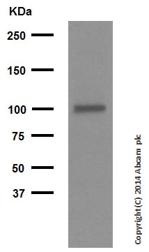 Western blot - Anti-Glutamate Receptor 1 (AMPA subtype) (phospho S845) antibody [EPR2148] (ab76321)
