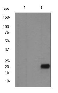 Western blot - Anti-Caveolin-2 (phospho Y27) antibody [EP2221Y] (ab76405)