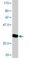 Western blot - Lbx2 antibody (ab76728)