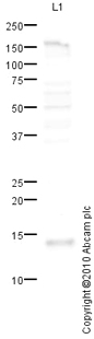 Western blot - Anti-liver FABP antibody (ab76812)