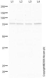 Western blot - Anti-P2RX4 antibody (ab76893)