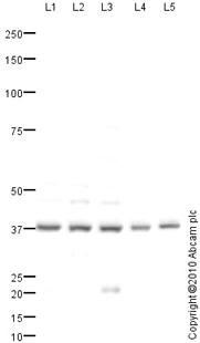Western blot - Anti-GTF3A antibody (ab76894)