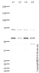 Western blot - Anti-HIP55 antibody (ab77147)
