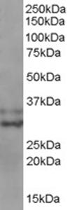 Western blot - Anti-Livin antibody (ab77190)