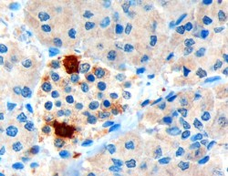 Immunohistochemistry (Formalin/PFA-fixed paraffin-embedded sections) - Anti-Pancreatic Polypeptide antibody (ab77192)