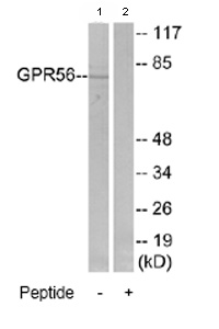 Western blot - Anti-GPR56 antibody (ab77515)