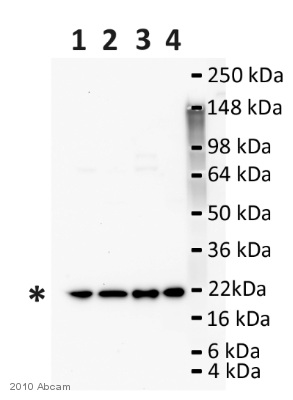 Western blot - ARF6 antibody (ab77581)