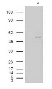 Western blot - Nova1 antibody (ab77594)