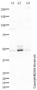 Western blot - Hsp47 antibody (ab77609)