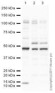 Western blot - Anti-Hsp47 antibody (ab77609)