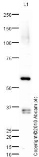 Western blot - Anti-ICAM3 antibody (ab78097)