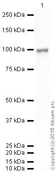Western blot - Anti-SEL1L antibody (ab78298)