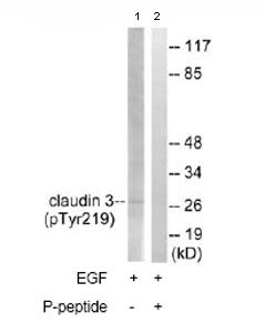 Western blot - Anti-Claudin 3 (phospho Y219) antibody (ab78345)