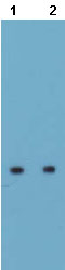 Western blot - Anti-Aquaporin 5 antibody (ab78486)